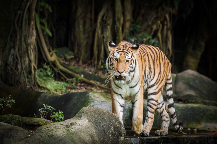 Tiger standing on rock