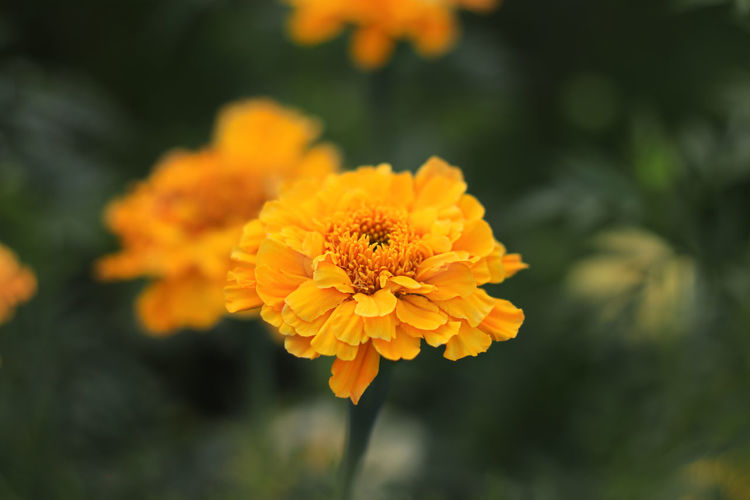Close-up of yellow marigold flower