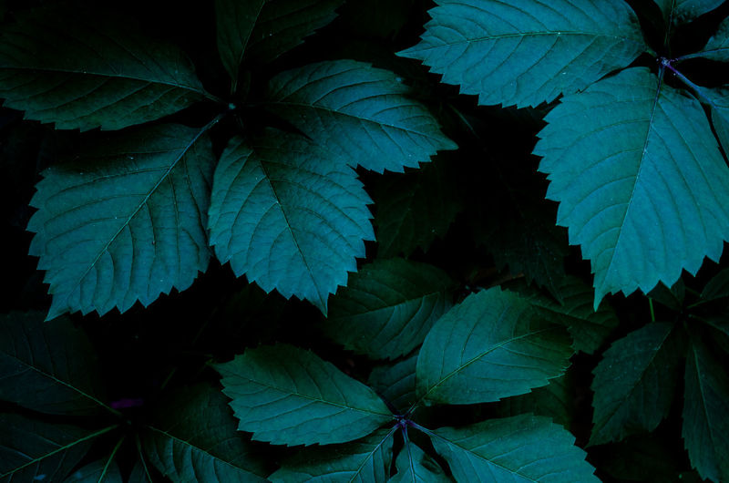 beautiful leaf in the moonlight Dark Green Moon Night Lights Veins In Leaves Beauty In Nature Blue darkness and light Directly Above Garden Garden Photography Grape Green Color Growth Leaf Leaves Moonlight Natural Pattern Nature Night Outdoors Plant Plant Part Tranquility Wild