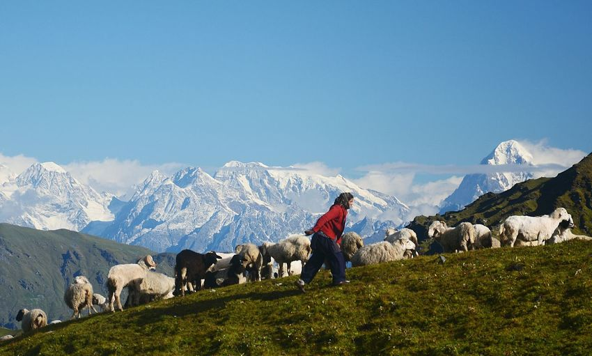Side view of girl walking on field by sheep against mountains and sky during winter