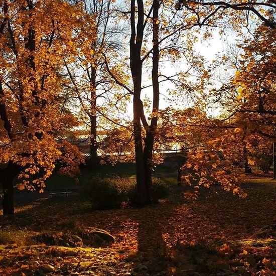 Golden fall Fall Autumn Golden Nofilter Sunset Goldenhour Helsinki Autumnleaves Trees Yellow Perfectlight Nature Colour Sibelius Amazed Captureautumn SevdalRelax Finland Suomi Helsinkionline October Thisisfinland