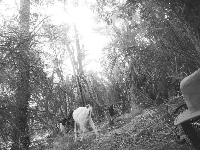 Domestic Animals Tree Nature Blackandwhite Goats Village Life Enjoying Life Animals Hello World Summer Summer2017