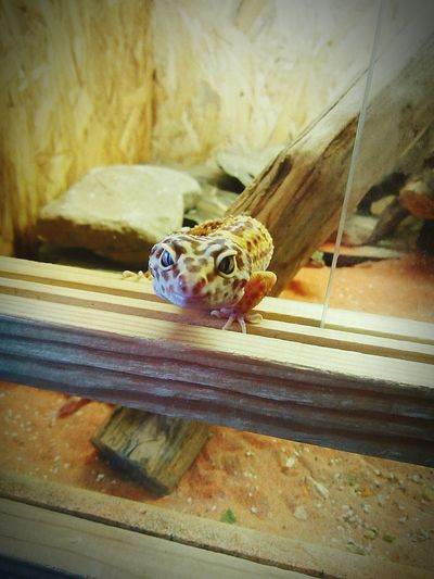 One Animal No People Terraristik Geckos Leopard Gecko Reptile Photography Reptile