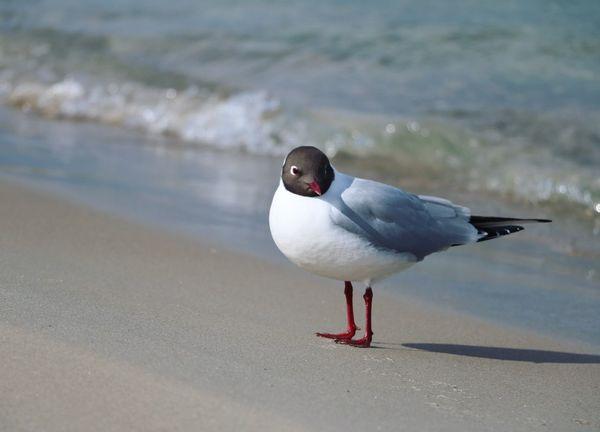 Bird Animals In The Wild Beach Sand Binz Rügen Baltic Sea Ostsee