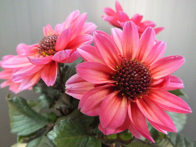 """""""ダリア"""" Flower Flowers Cute♡ Flowerporn Flower Beautiful"""
