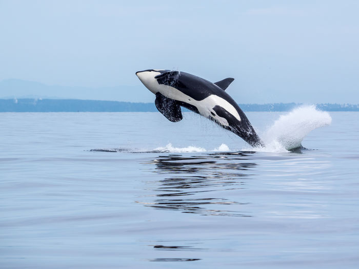 Animal Themes Animal Wildlife Animals In The Wild Aquatic Mammal Bc BC, Canada Bird Canada Coastline Killer Whale Killer Whales Motion Nature No People Ocean Ocean View One Animal Orca Orcas Outdoors Sea Sky Swimming Water Whale Go Higher