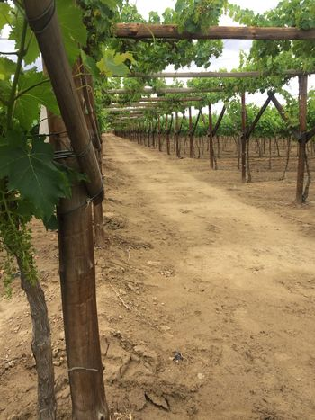 Agriculture Vineyard No People