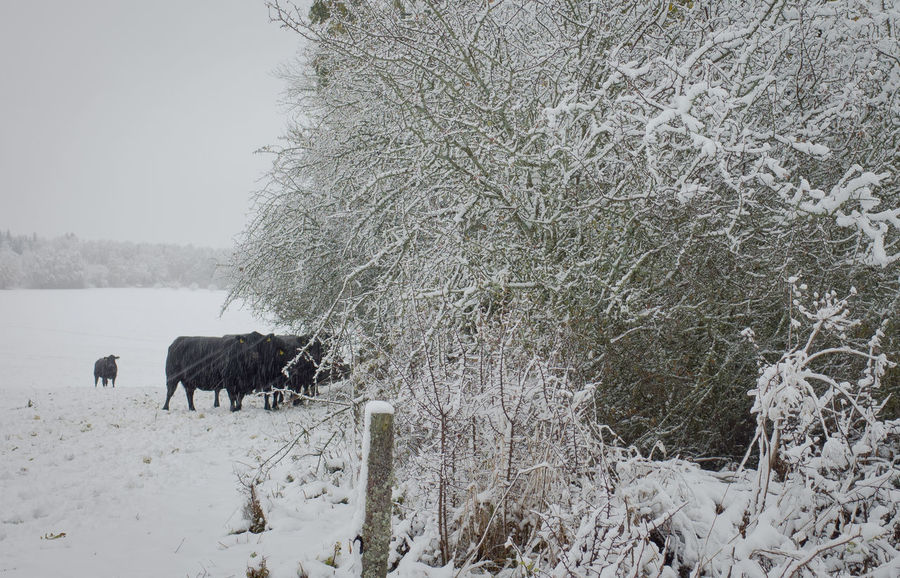 Animal Themes Animal Mammal Domestic Domestic Animals Vertebrate Cold Temperature Snow Winter Plant Livestock Tree Field Nature No People Outdoors Herbivorous Cattle Landscape_photography
