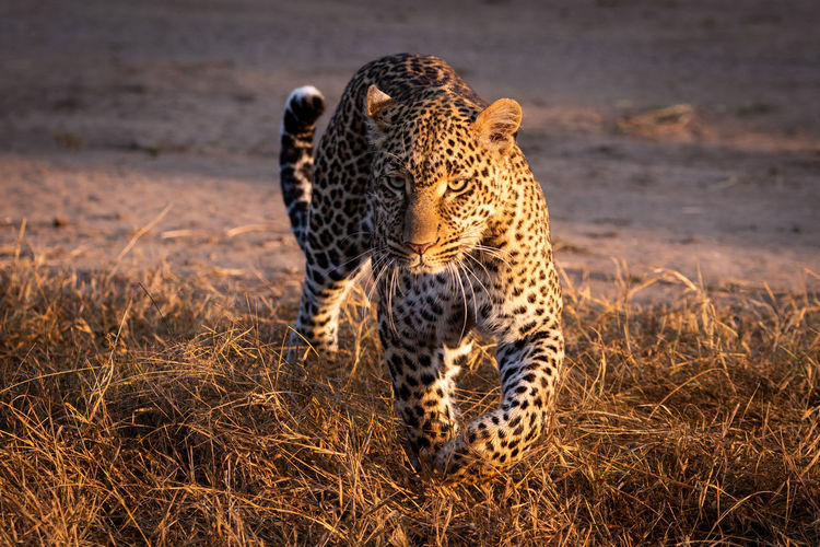 Leopard walking through grass in golden light Africa Kenya Masai Mara Kicheche Savannah Savanna Safari Leopard Panthera Pardus Predator Big Five Big Cat Cat Carnivore Mammal Animal Wildlife Animal Themes Animal Wildlife Animals In The Wild Feline One Animal Spotted No People Undomesticated Cat Survival Nature Hunting Animals Hunting Vertebrate Cheetah Alertness Outdoors Stealth