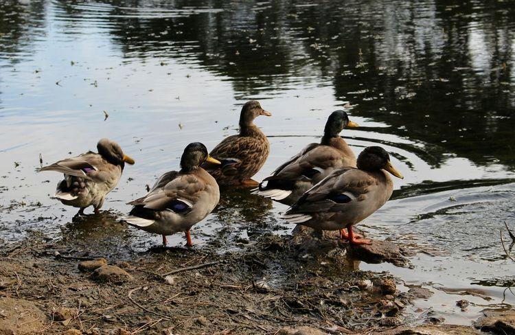 Lake Ducks Water Birds_collection Taking Photos Walking Around Beautiful Day Eye4photography  EyeEm Nature Lovers