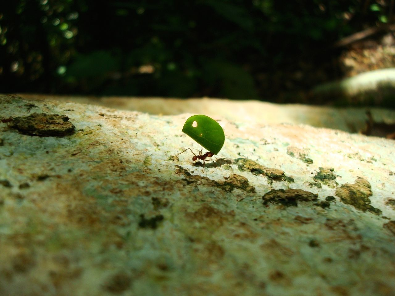Close-Up Of Ant And Leaf On Rock