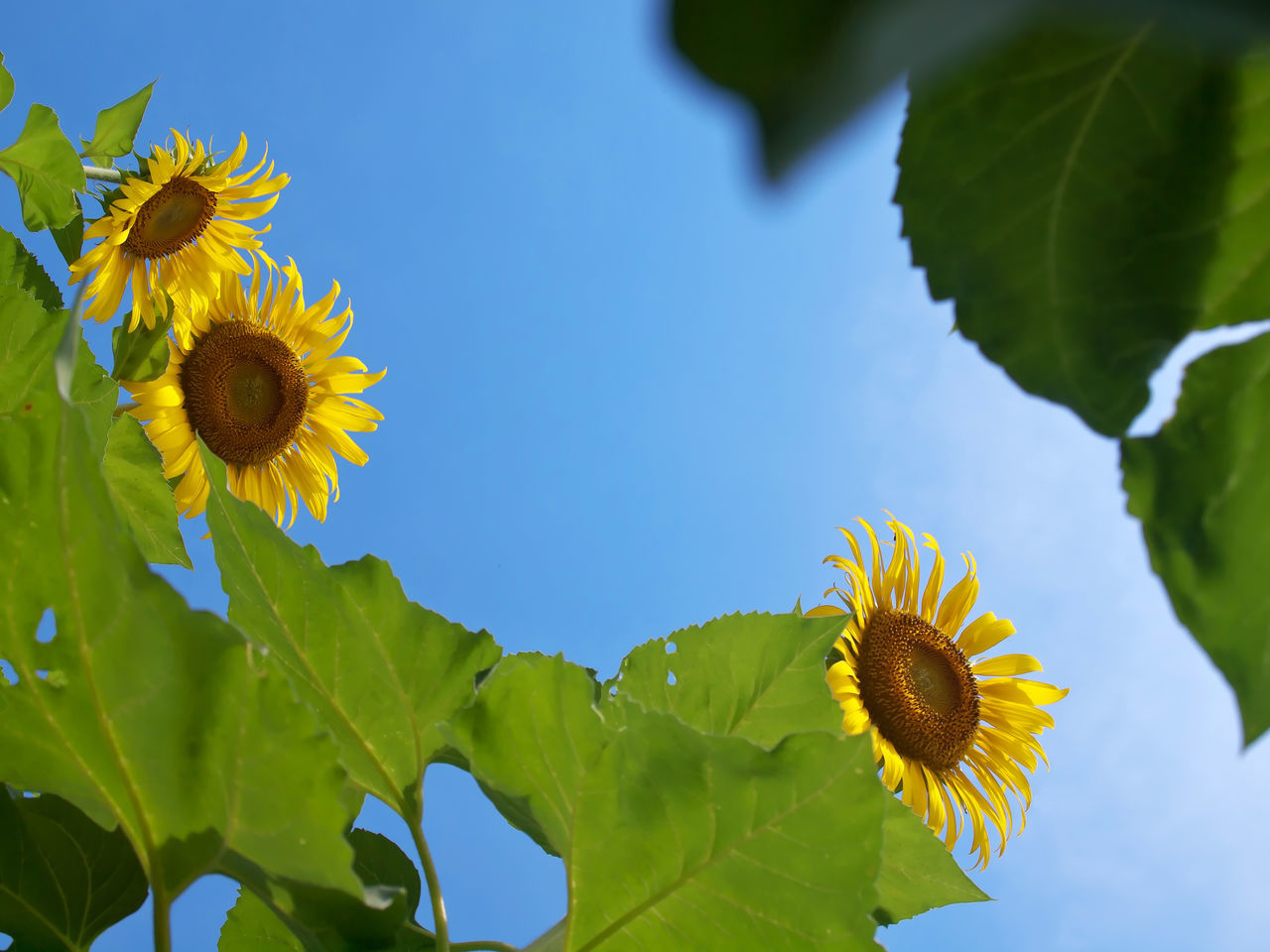 flower, freshness, fragility, petal, beauty in nature, leaf, nature, flower head, growth, yellow, plant, sunflower, blooming, outdoors, day, no people, low angle view, close-up, pollen, green color, sky, clear sky