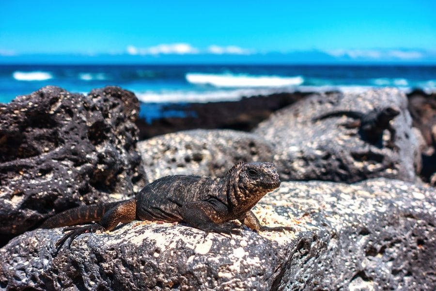 Baby Iguana on Galapagos Island Nature Iguana Galapagos Animals In The Wild First Eyeem Photo