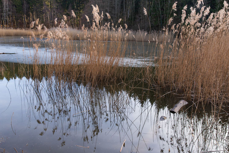 reeds in cold frozen water Plant Nature Day Outdoors Cold Temperature Water Reflection Lake Tranquility Beauty In Nature No People Grass Animal Wildlife Animals In The Wild Tree Scenics - Nature Animal Themes Non-urban Scene Tranquil Scene Animal Growth Reed Water Reed