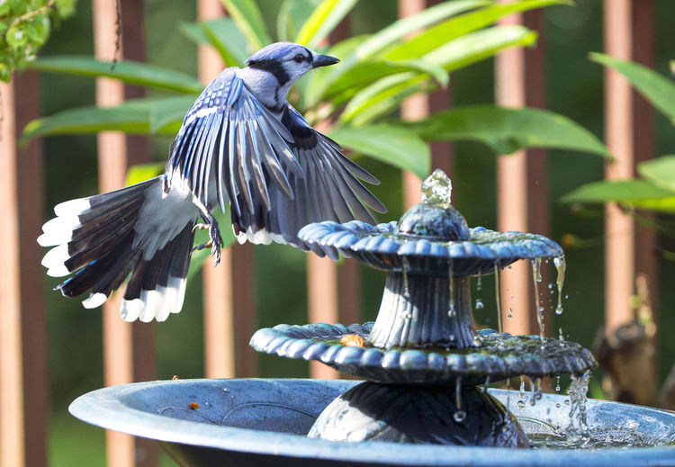 Levitating Bird Bath Blue Jay Fountain Spread Wings.. Animal Animal Themes Animal Wildlife Animals In The Wild Beauty In Nature Bird Bird Flying Bird In The Air Blue Fluttering Wings Hovering Nature Outdoors Spread Wings