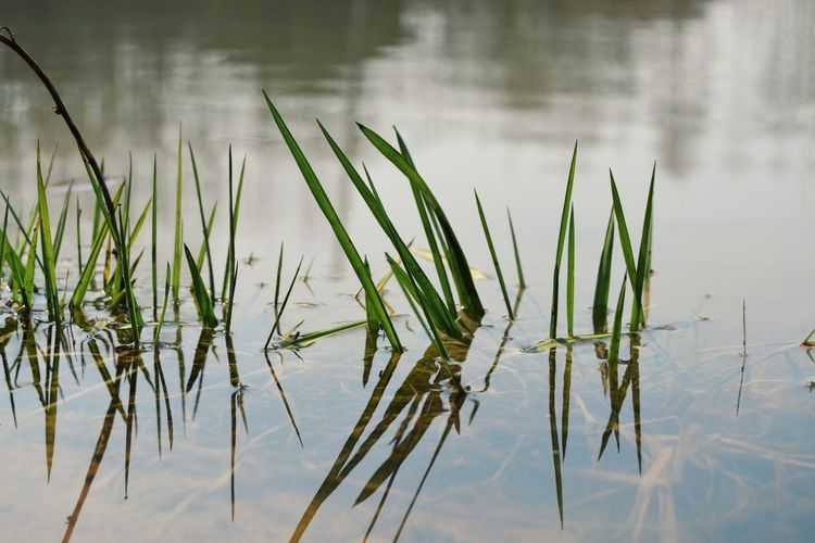 Springtime Outdoors Water Lake Reflection Standing Water Grass Close-up Sky Plant Reed - Grass Family Swamp Water Plant Reflection Lake