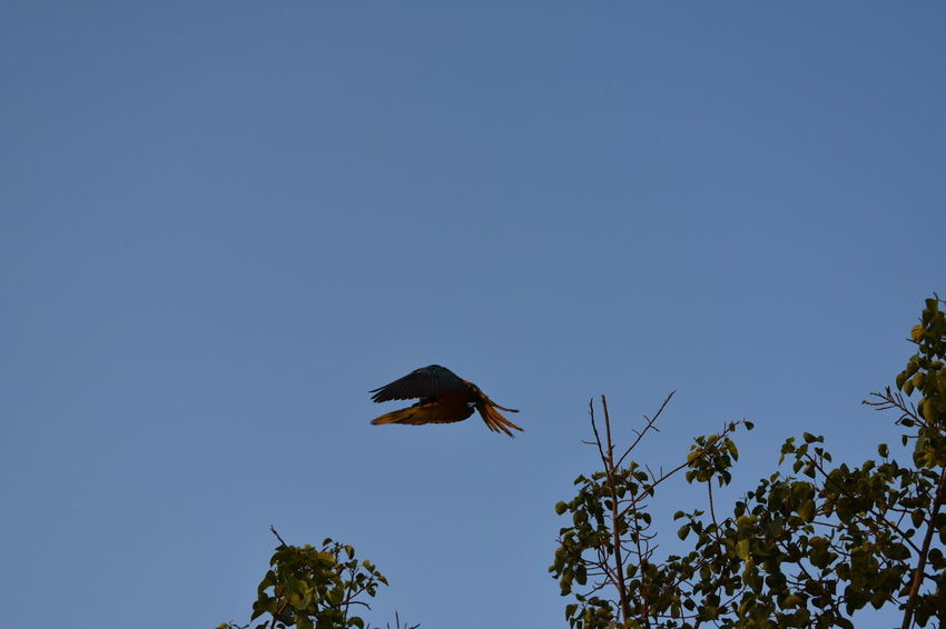 macaw flying landing on tree top in bright blue sky Beautiful Colorful Macaw Flying Landing On Treetop Blue Sky Flying Macaws Macaw's Wings