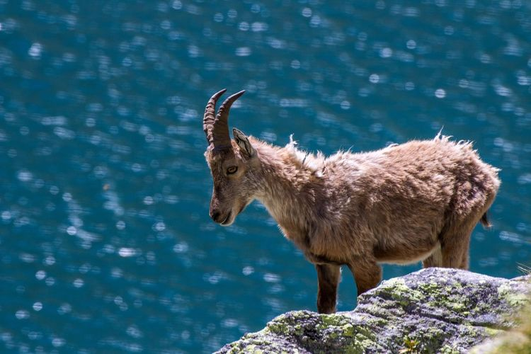 Stambecco Femmina. Female Ibex. Alertness Animal Animal Body Part Animal Head  Animal Themes Beauty In Nature Blue Close-up Day Focus On Foreground Mammal Nature No People Outdoors Portrait Rock - Object Selective Focus Wildlife Zoology