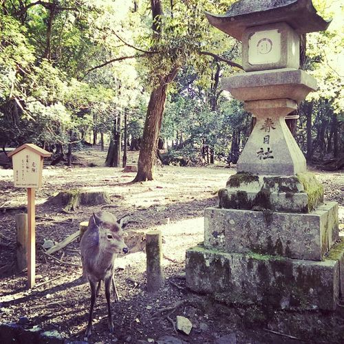 Nara,Japan Travel Janpan Deer