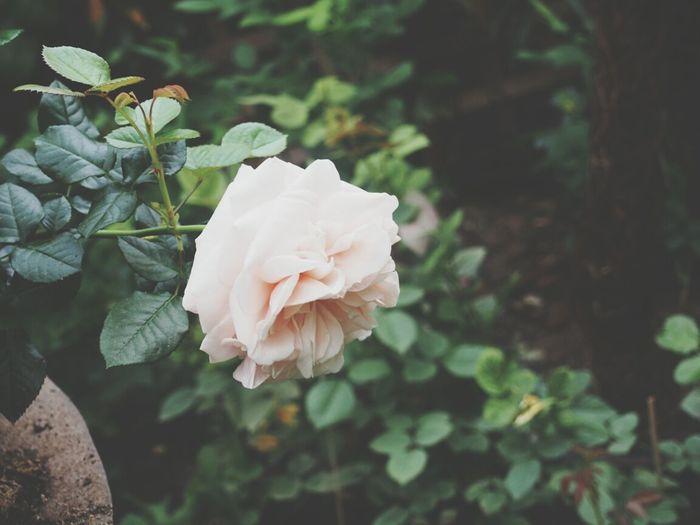 Roses Flower Collection Flower Power Garden