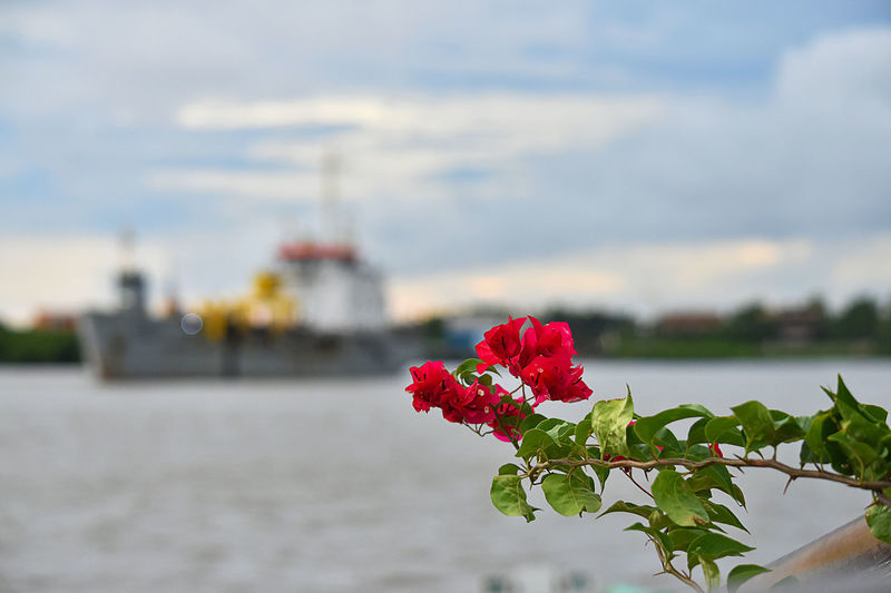 Flower Plant Flowering Plant Beauty In Nature Nature Focus On Foreground Red Water Freshness Fragility Vulnerability  Close-up Day Flower Head Petal Growth Rosé Rose - Flower Inflorescence No People Outdoors Passenger Craft