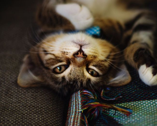 Cuddly Moody Lazy Kitten Cute Cat Animal Animal Themes Domestic Animals Indoors  Pets Feline Animal Head  Portrait Domestic Cat Close-up Textile No People