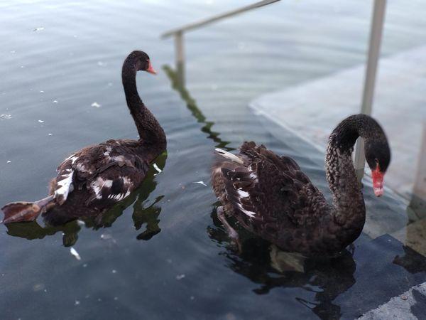Kazan Blacklake City Summer EyeEm Selects Bird Black Swan Water Swimming Swan Lake Red Water Bird Animal Themes Close-up