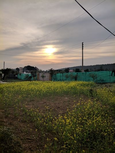 Mustard fields Water Grass Outdoors Sunset Mustard Plant Mustard Flower Mustard Fields Yellow Flower EyeEm Masterclass Plants And Flowers Lifeisbeautiful Tranquility Beauty In Nature Cloud - Sky No People