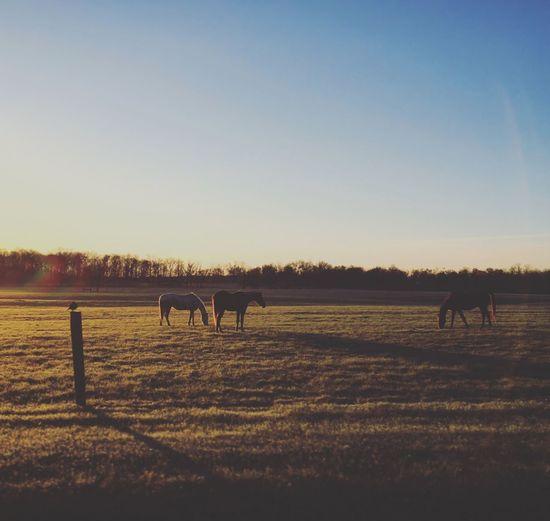 Horses Sunrise Sunrise_sunsets_aroundworld Farm Morning Light Morning Horse Horse Photography  Sunrise_Collection