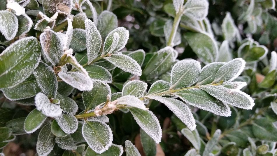 Nature Beauty In Nature Plant Close-up Outdoors No People Day Tree Frosty Nature Frosty Mornings Tree Plant Green Color Frost Cold Macro Clouse-up