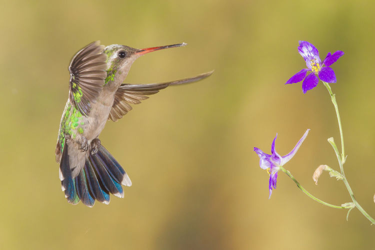 Close-Up Of Hummingbird Hovering By Flower