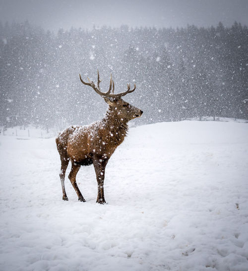 View of deer on snow covered land