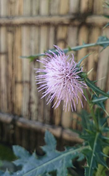 Flower Head Flower Thistle Purple Close-up Plant In Bloom Botany Plant Life Blooming Single Flower