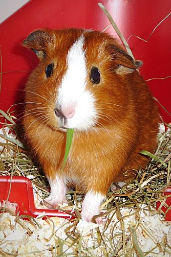 Happy Birthday Saucy😍🎉! Saucy EyeEm Animal Lover Guinea Pig Cute Colorful White Red Animals From My Point Of View Pets Cute Pets Cavy Animal Photography Naseweis
