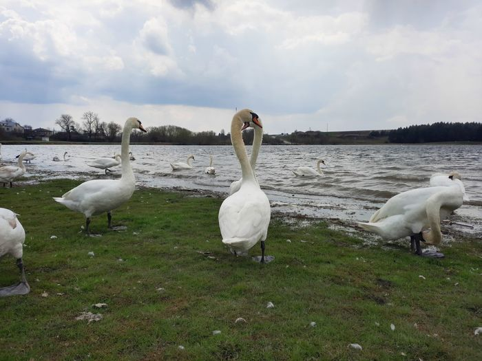 Swans in lake against sky