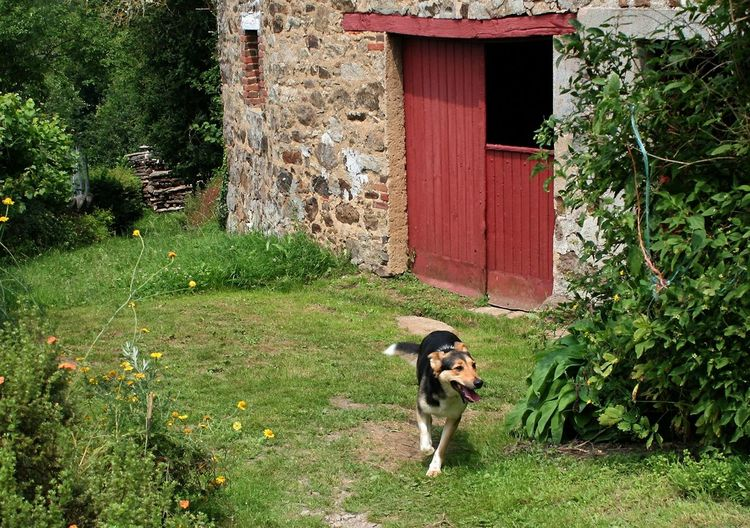 Dog Running By Abandoned Barn On Field