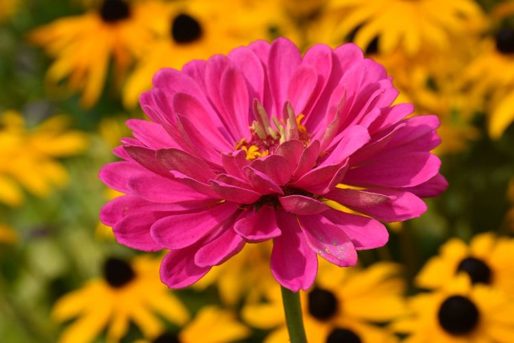 Beauty In Nature Blooming Close-up Flower Flower Head No People Petal Pink And Yellow Pink Color Pink Zinnia Yellow