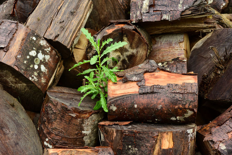 Plant growing amidst wet logs
