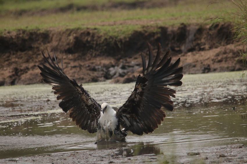 Eagle going in to attack Animal Themes Animal Wildlife Animals In The Wild Beauty In Nature Bird Close-up Day Flying Lake Motion Nature No People One Animal Outdoors Spread Wings Water