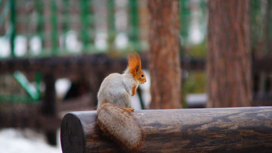 Close-up of squirrel sitting on wood