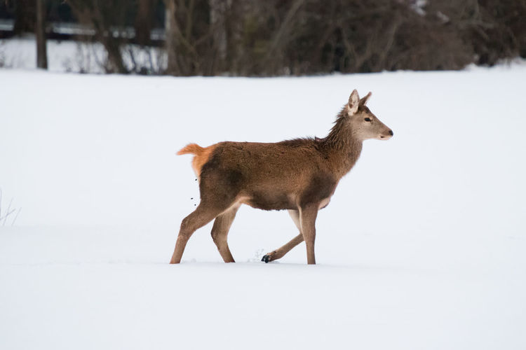 Side view of mammal walking on snow covered land