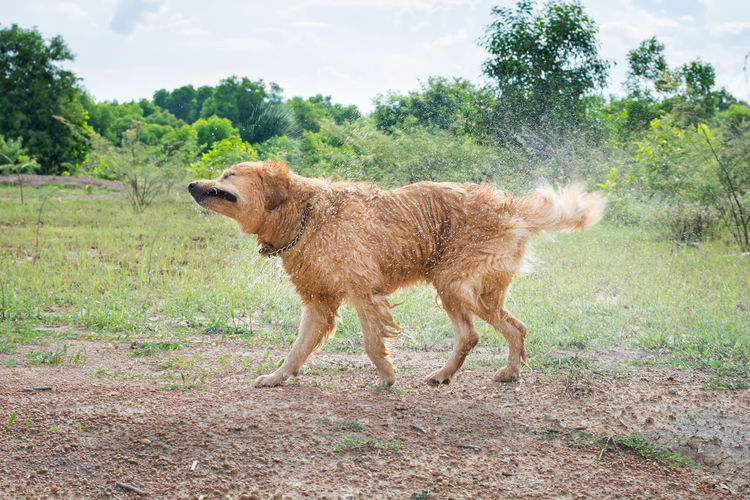 Golden Retriever dog shakes off water after a swim, Action Canine Copy Dog Field Fun Gold Golden Grass Happy Hot Hunter Hunting Landscape Motion Movement Nobody Off One Outdoor Outside Pet Play Rain Retriever Room Run Shake Sport Summer Summertime Sun Sunny Swimming Water Wet One Animal Animal Themes Mammal Domestic Animals Pets