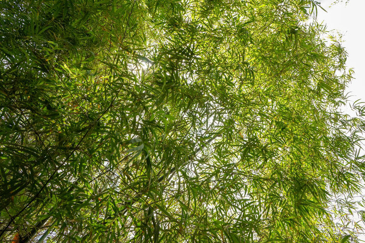 Bamboo view up