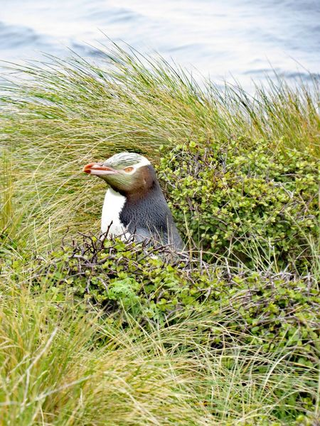 Yellow eyed Penguin Yellow Eyed Penguin Hoiho Wildlife Sub Antarctics Uncommon  NZ Birds Auckland Islands Enderby Island Endangered Species Grass Animal Themes Day One Animal Bird Animals In The Wild Nature Animal Wildlife No People