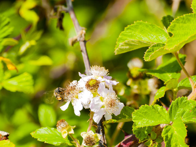 Animals In The Wild Bumblebee Rubus Animal Themes Animals In The Wild Beauty In Nature Bee Close-up Environment Flower Flower Head Fragility Freshness Green Color Growth Insect Leaf Nature One Animal Rubus Ulmifolius Spring Springtime Wasp Wildlife