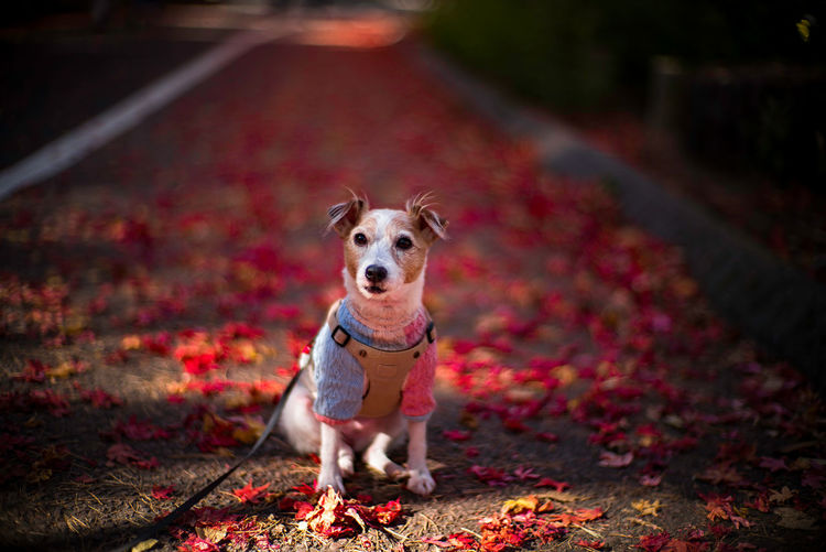 Portrait of dog standing on leaves during autumn