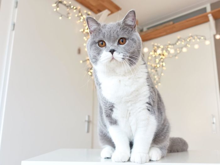 Cat sitting up with lights in the background Animal Themes Animal Bokeh British Shorthair Domestic Cat Pets Cat Domestic Animals Feline