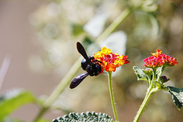 Bee Black Black Bee EyeEm Selects Insect Flower Animals In The Wild Plant Animal Wildlife One Animal Animal Themes Day Outdoors Nature Focus On Foreground No People Beauty In Nature