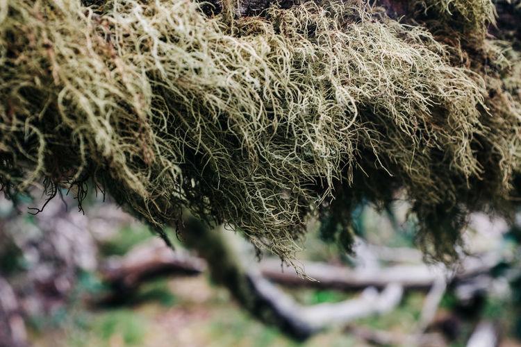 Dry moss on