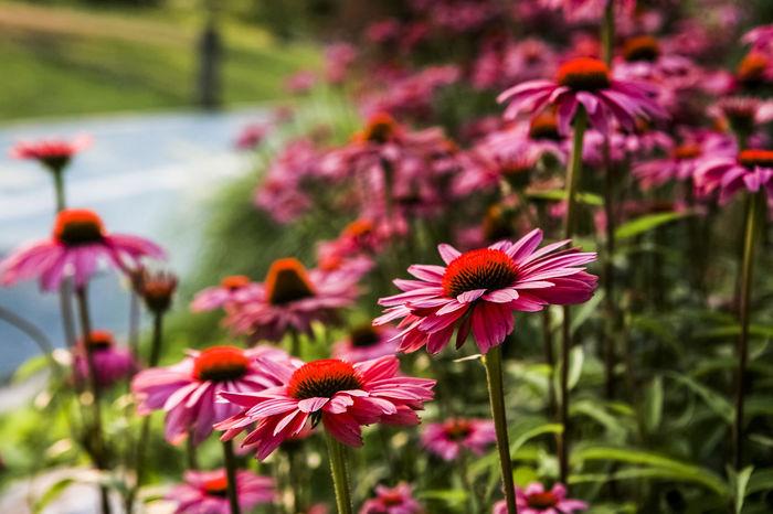 Flower Ilsan  Ilsan Lake Park Korea Lake Nature Orange Park Pink